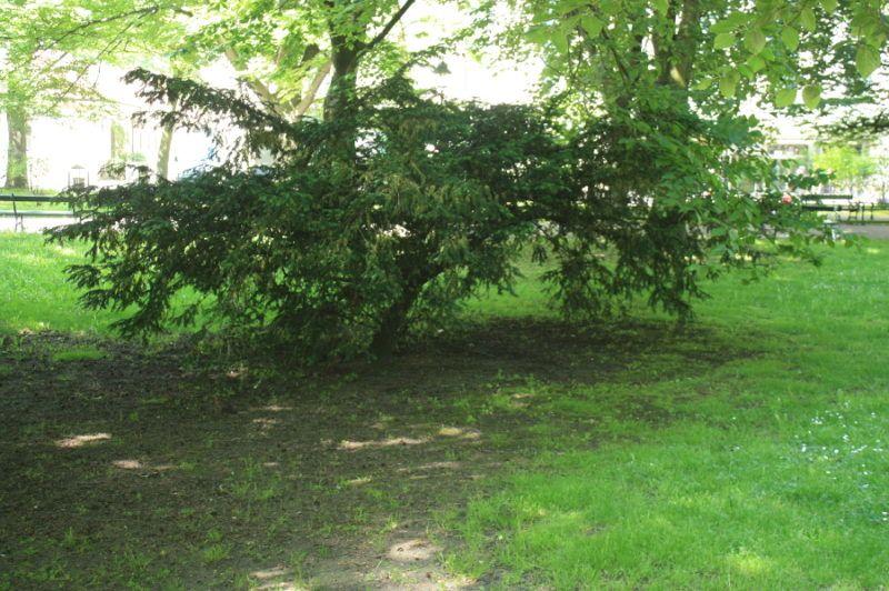 Długowieczny krzew iglasty